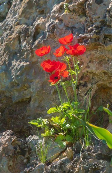 Red flowers in Israel